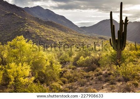 Blooming Palo Verde trees under a moody sky in the Sonoran Desert near Phoenix, Arizona - stock photo