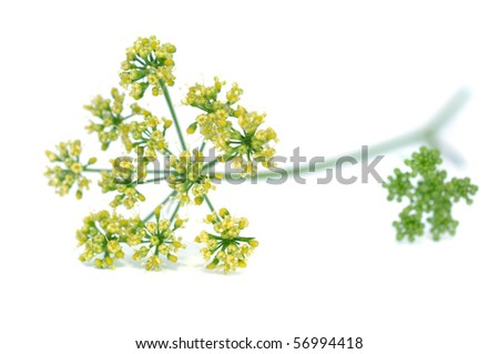 Blooming parsley, isolated on white - stock photo