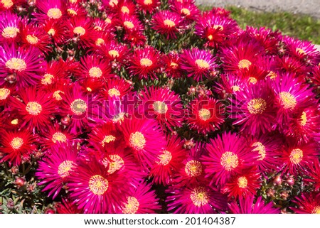 Blooming perennial plant in the sunny garden - stock photo