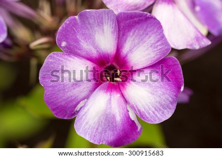 Blooming Phlox paniculata flowers in the garden - stock photo