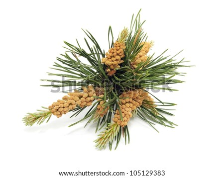 blooming pine tree branch on a white background - stock photo