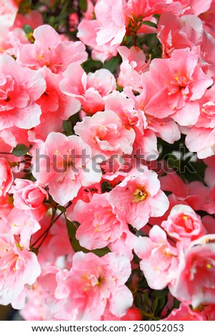 Blooming pink Azalea flowers close-up - stock photo