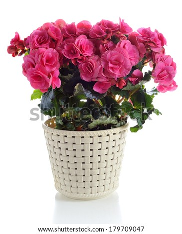 blooming pink begonia in pot  isolated on white background - stock photo