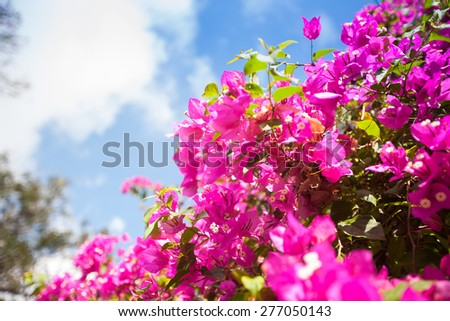 blooming pink flowers against blue sky in Thailand - stock photo