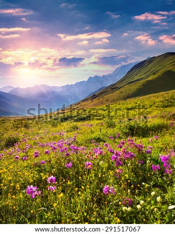 Blooming pink flowers in the Caucasian mountains. Colorful summer sunrise in Upper Svaneti, Georgia, Europe. - stock photo