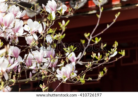 Blooming pink magnolia tree in early spring - stock photo