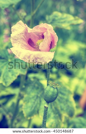 Blooming pink poppy flower. Greeting card background. Vintage toned effect. Shallow depth - stock photo