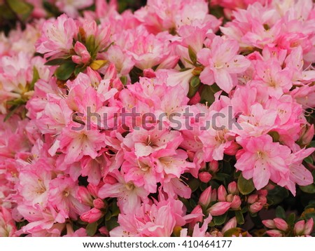 Blooming Pink Rhododendron,Azalea flowers.Pelargonium geranium group bright cerise pink flowers. - stock photo