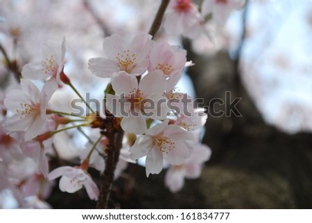 Blooming plum blossom flowers in a garden - stock photo