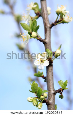Blooming plum tree. Home orchard. Signs of spring. Flower detail. - stock photo