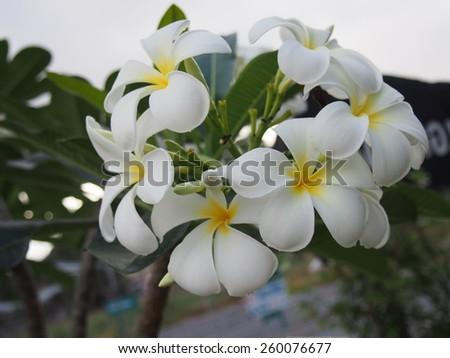 Blooming Plumeria Flowers  - stock photo