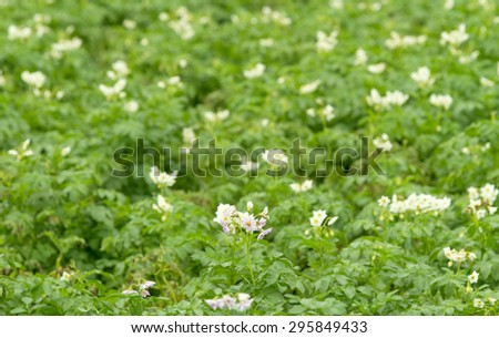 blooming potato field - stock photo