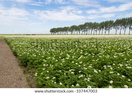 Blooming potato field in the Netherlands - stock photo
