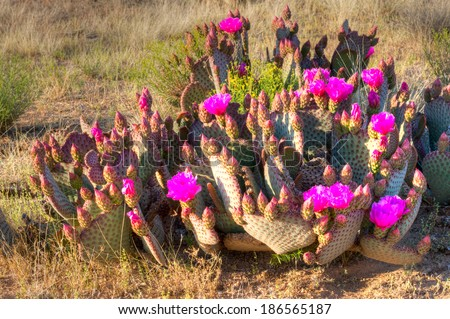 Blooming Prickly Pear Cactus in Sonoran Desert. - stock photo