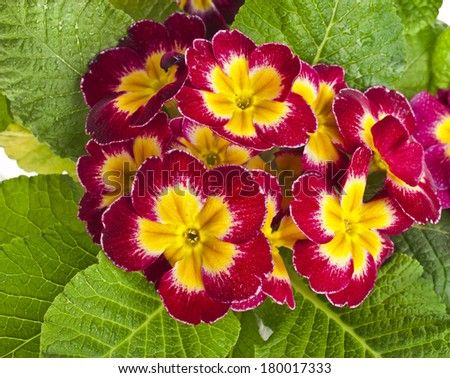 blooming primrose primula polyanthus top view close up - stock photo
