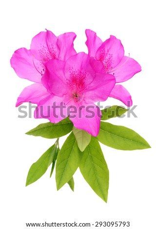 blooming purple azalea flower isolated on white background - stock photo