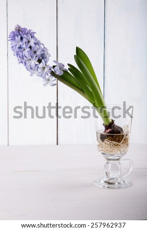 Blooming purple hyacinth  in a glass  - stock photo