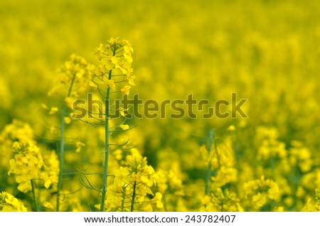 blooming rapeseed field in spring - stock photo