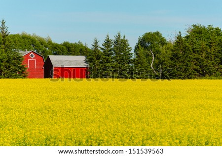 blooming rapeseed plants and red barn in the background with blue sunny sky - stock photo