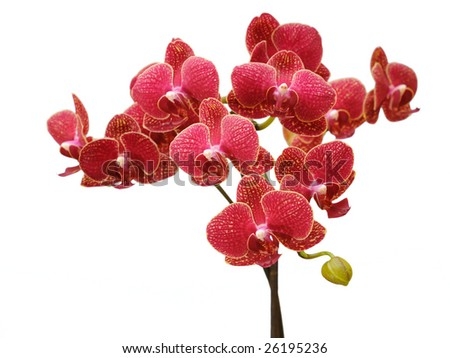 blooming red orchid - stock photo
