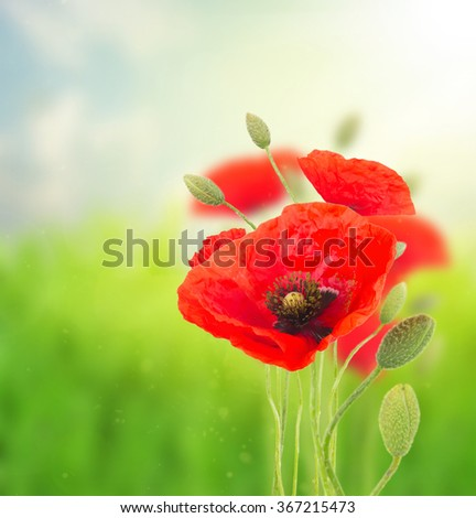 Blooming red poppy flowers with buds  on field  defocused  background - stock photo