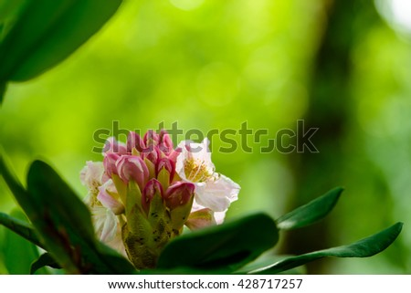Blooming Rhododendron (Azalea), close-up, selective focus - stock photo