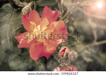 Blooming roses with lens flare, and bubbles - stock photo