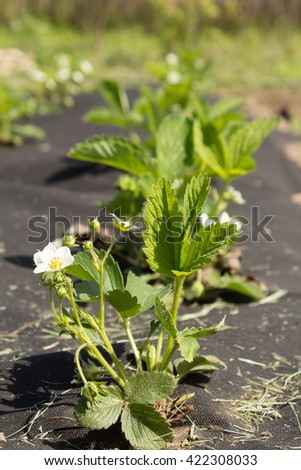 Blooming rows of strawberries on agrofiber - stock photo
