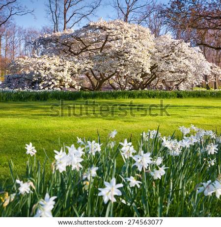 Blooming sakura in the spring Keukenhof park. Beautiful outdoor scenery in Netherlands, Europe. - stock photo