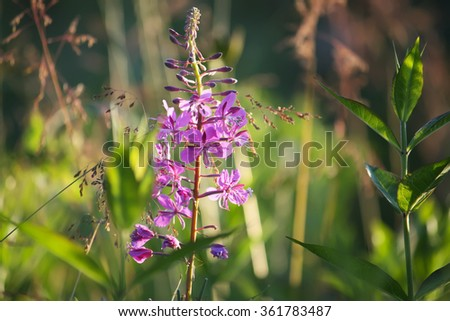 Blooming sally flowers. (Epilobium angustifolium, Epilobium flower, Purple Alpine Fireweed). - stock photo