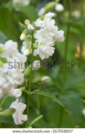 Blooming soapwort, Saponaria officinalis - stock photo
