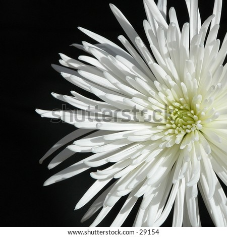 Blooming spider mum set against a black background - stock photo