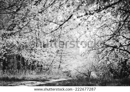 Blooming spring garden. Black and white photography - stock photo