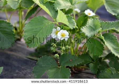 Blooming strawberries - stock photo