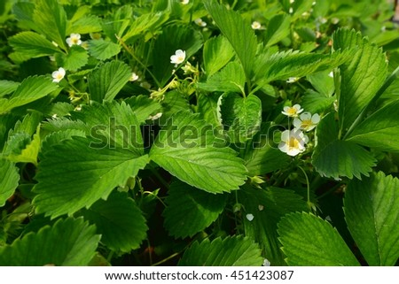 Blooming strawberries on the field. - stock photo