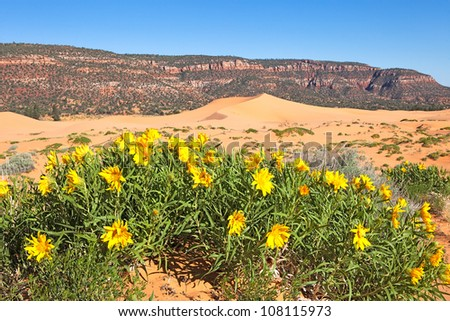 Blooming Sunflowers in Coral Pink Sand Dunes State Park. - stock photo