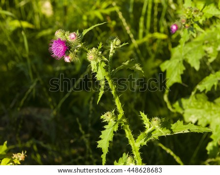 Blooming Thistle, Carduus, flowers and buds on stem macro with bokeh background, selective focus - stock photo