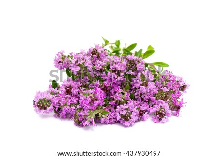 Blooming Thymus vulgaris (common names: common thyme, German thyme, garden thyme or just thyme) on white background - stock photo