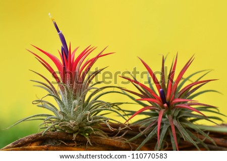 blooming Tillandsia ionantha on yellow background - stock photo