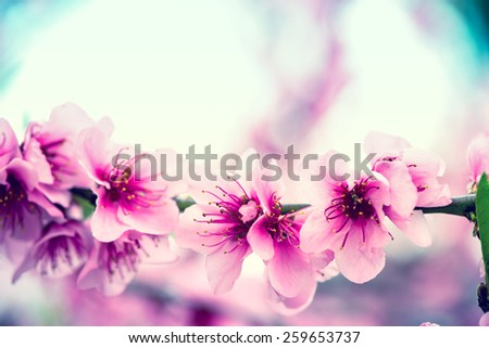 Blooming tree branch in spring with blurred background, vintage filtered effect - stock photo