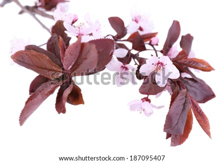 Blooming tree branch with pink flowers isolated on white - stock photo