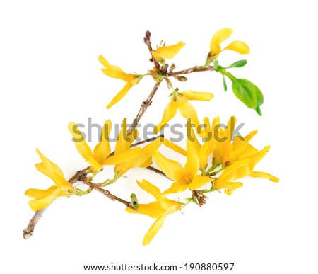 Blooming tree branch with yellow flowers isolated on white - stock photo