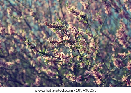 blooming tree with pink flowers - stock photo