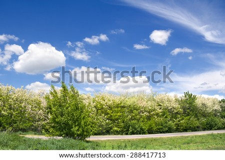 Blooming trees acacia(Robinia pseudoacacia) against the sky - stock photo