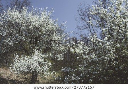 blooming trees in spring - stock photo