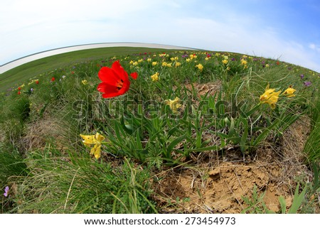 Blooming tulips and irises in the steppe on a hurricane, Rostov region, Russia.  - stock photo