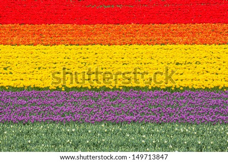 Blooming tulips in various colors on a field. - stock photo