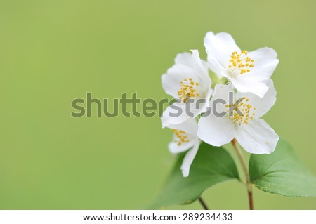 Blooming twig of Jasmine on a sunny day.White flowers of Jasmine on a green background.  - stock photo