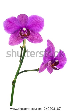 Blooming twig of lilac orchid isolated on white background. Closeup. - stock photo