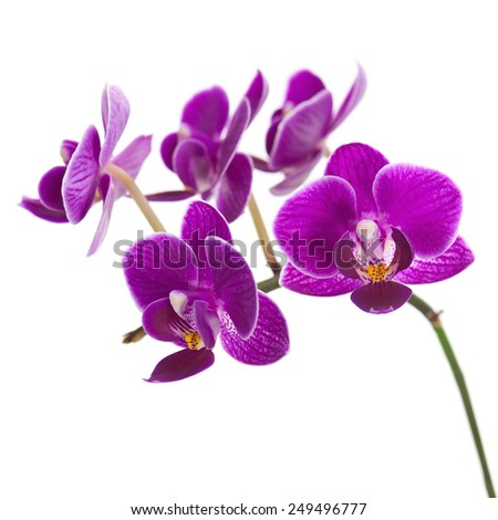 Blooming twig of purple orchid, phalaenopsis isolated on white background. - stock photo